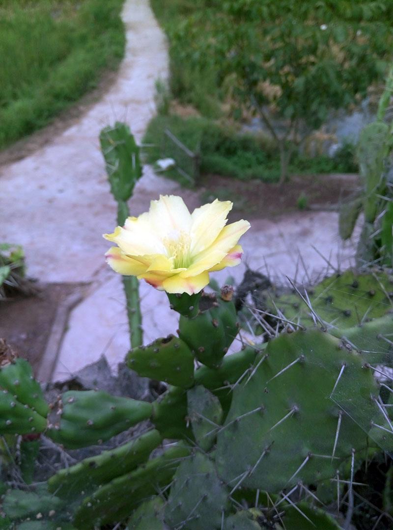 仙人掌的花